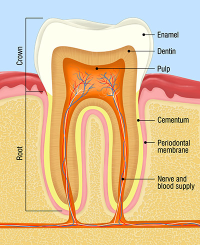 tooth, enamel, dentin, pulp, root canal